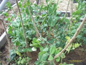 Peas are producing with plenty of space for new seeds