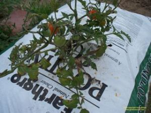 The Best Way To Grow Tomatoes Gardenerscott