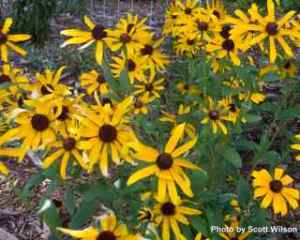 They should avoid my Black-eyed Susans