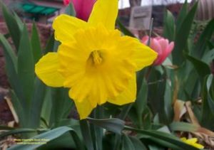 Daffodils are on everyone's list of deer resistant plants
