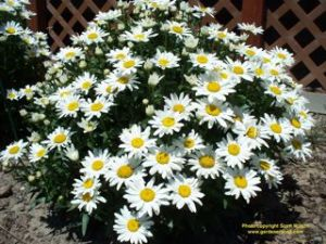 Shasta Daisies are a beautiful deer resistant plant