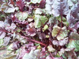 Beet leaves are edible and tasty