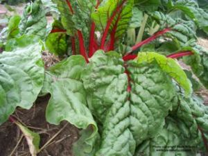 Grow chard to harvest in fall