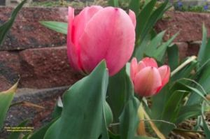 Tulips need to be planted in fall