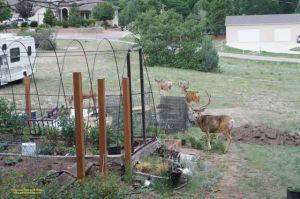 Deer exploring my new vegetable garden area
