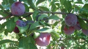 Plums on my plum tree